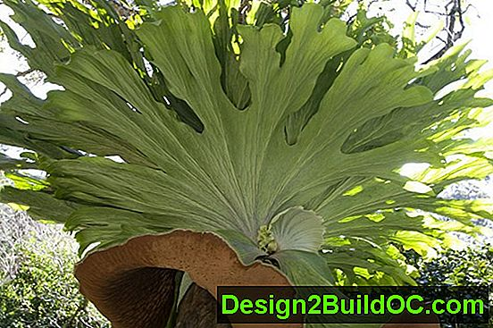 Staghorn Fern - Travnjak i Vrt