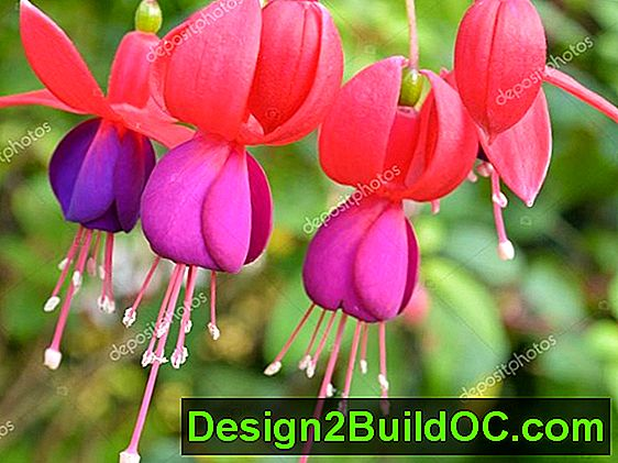 Fuchsia, Lady'S Ear Dropovi - Travnjak i Vrt