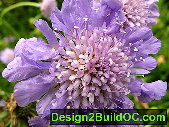 Scabiosa, Pincushion Flower, Sorgbrud