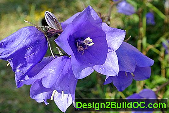 Campanula, Bellflower
