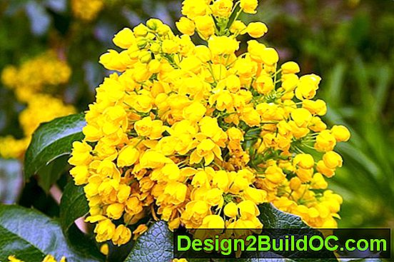Oregon Grape - Prato e Giardino