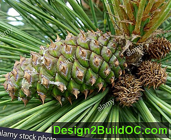 Western Yellow Pine Tree