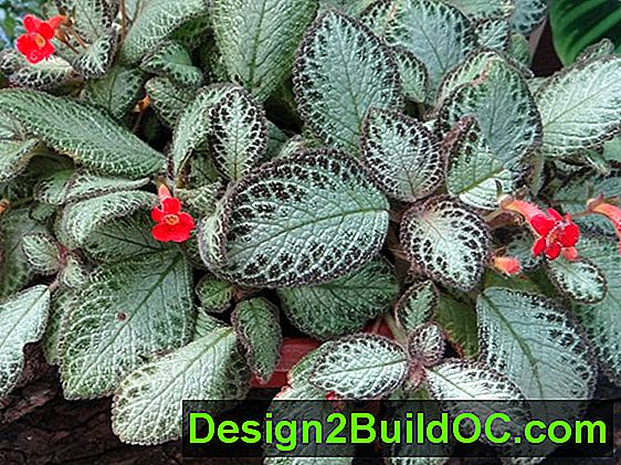 Episcia - Travnik in Vrt - 20192019.MayMay.ThuThu