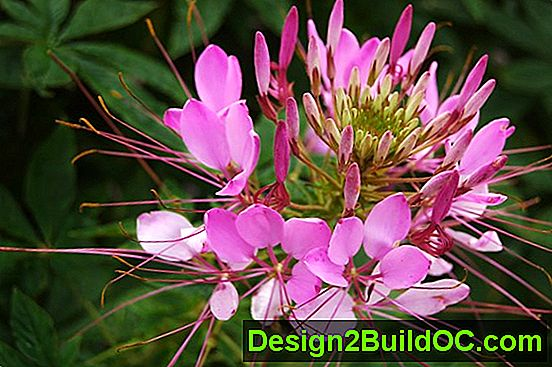 Cleome, Spider Flower