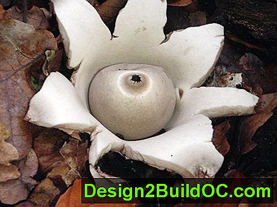 Earth Star Plant