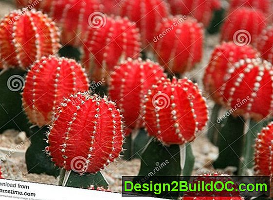 Ruby Ball Cactus