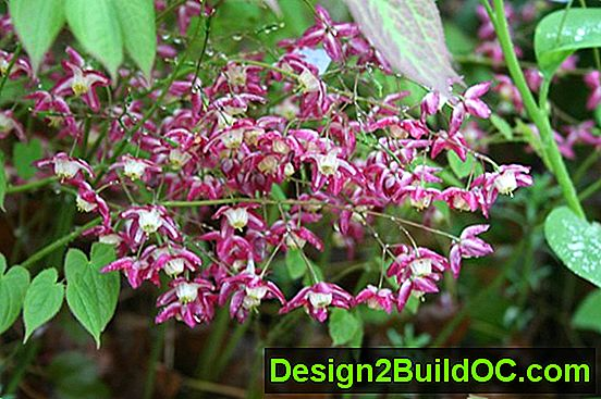 Epimedium, Bishop'S Hat, Barrenwort