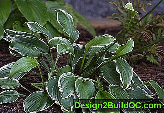 Hosta, Plantain Lily - Travnik in Vrt - 20192019.SepSep.SunSun