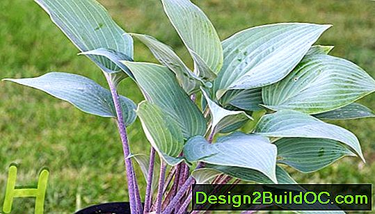 Hosta, Piantaggine Lily