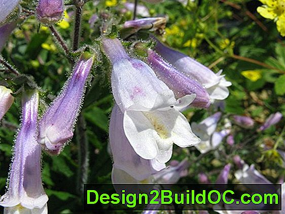 Hairy Penstemon