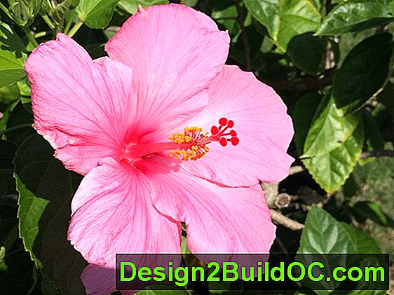Kinesisk Hibuscus, Hawaiian Hibiscus, Rose Of China